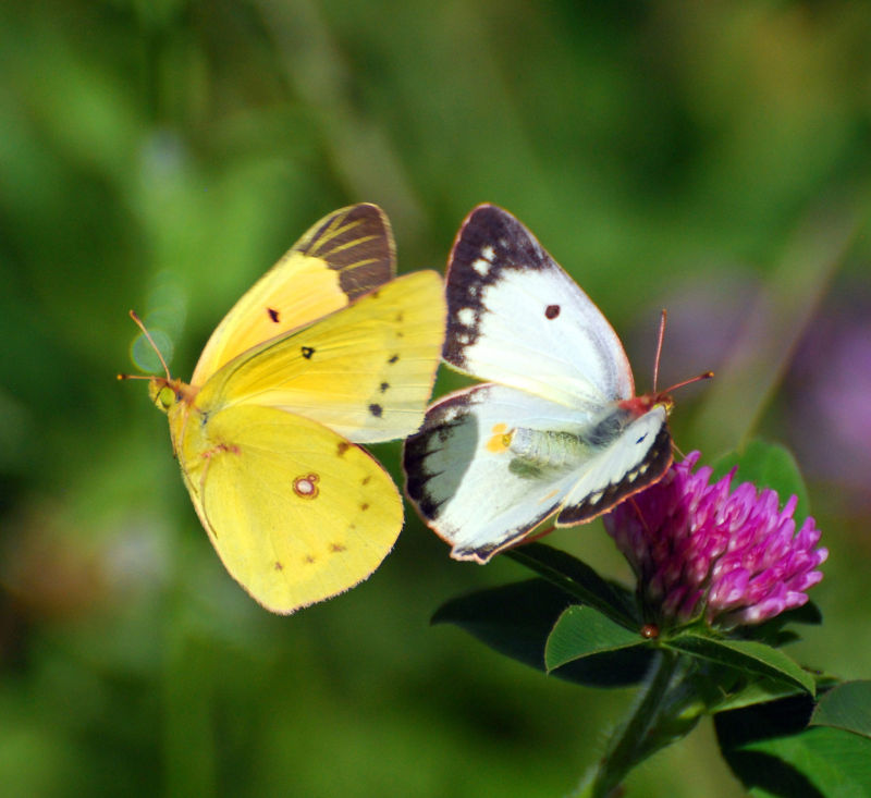 Butterfly, Nature,