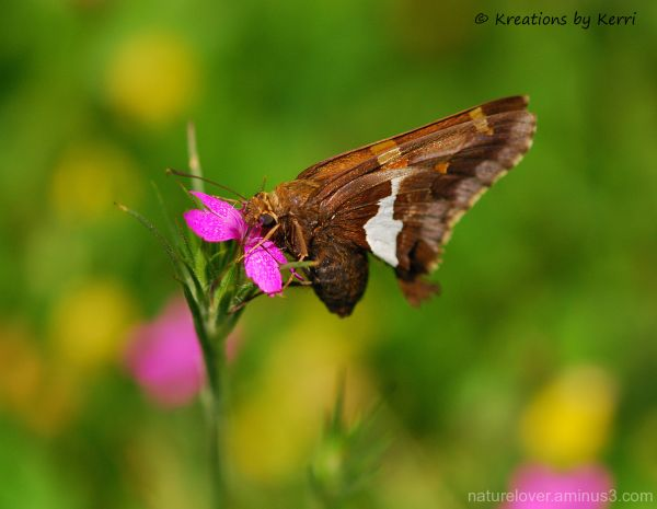 Silver Spotted Skipper on Deptford Pink wildflower