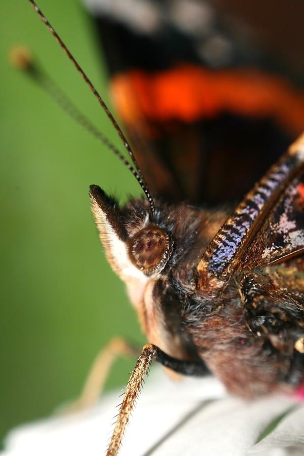 Mirada de papallona