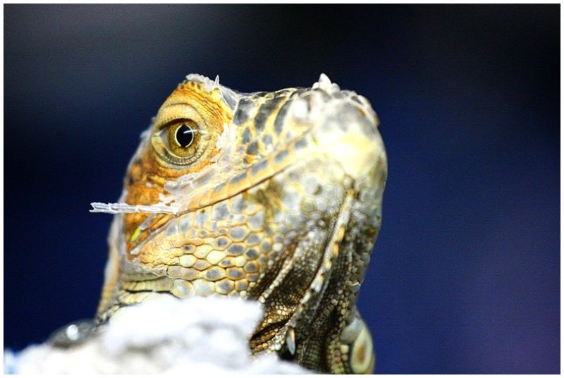 Mirada d'Iguana (Es lloc de menorca III)