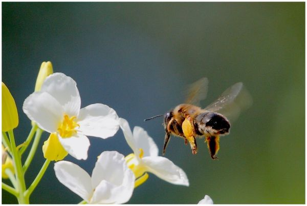 El dia de l'abella treballadora