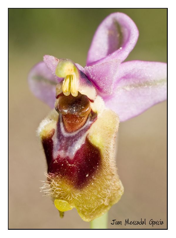 Orquídea - II