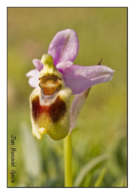 Orquídea - III