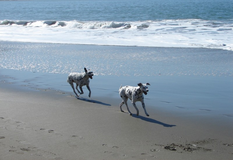 Two Dalmations at play on the beach