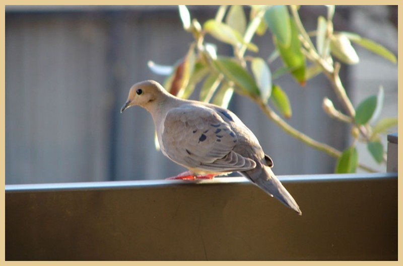 Dove on the rail