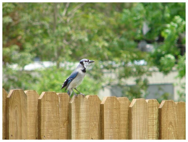 Bluejay on the backyard fence