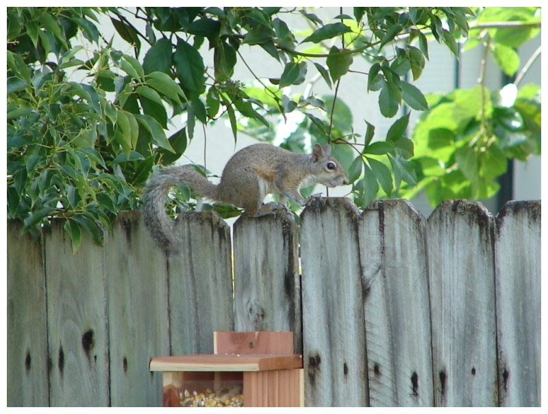 Squirrel on the backyard fence