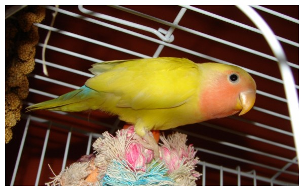 George the Lovebird in his cage