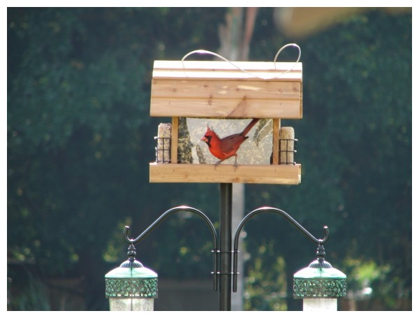 Cardinal eatting at a birdfeeder