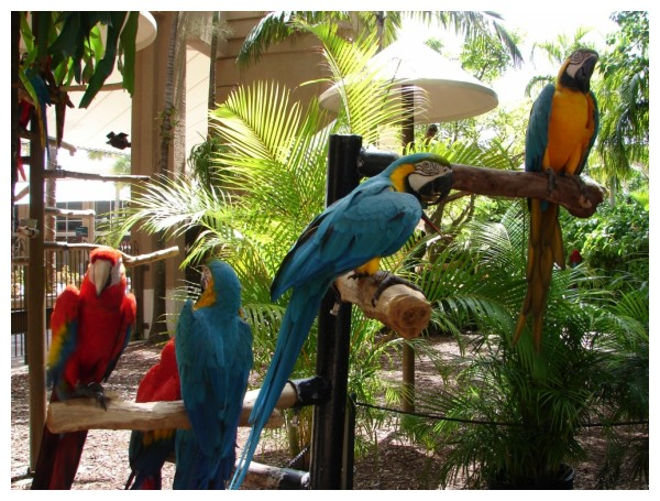 Macaws at Jungle Island