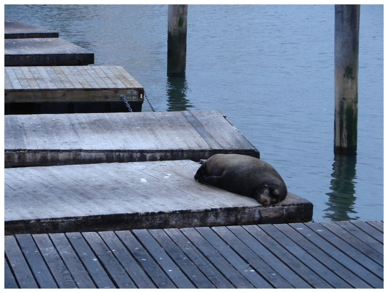 A Sea-lion on the pier 39 in San Francisco