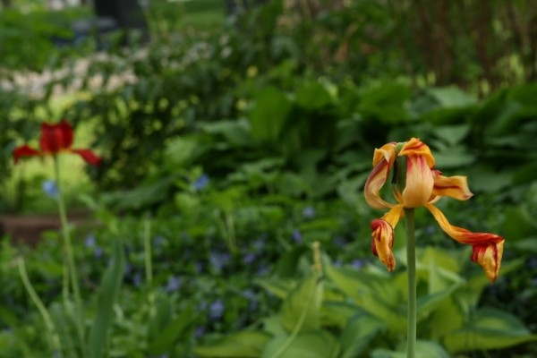 The Tulip's Last Stand