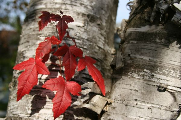 The Maple in the Birch