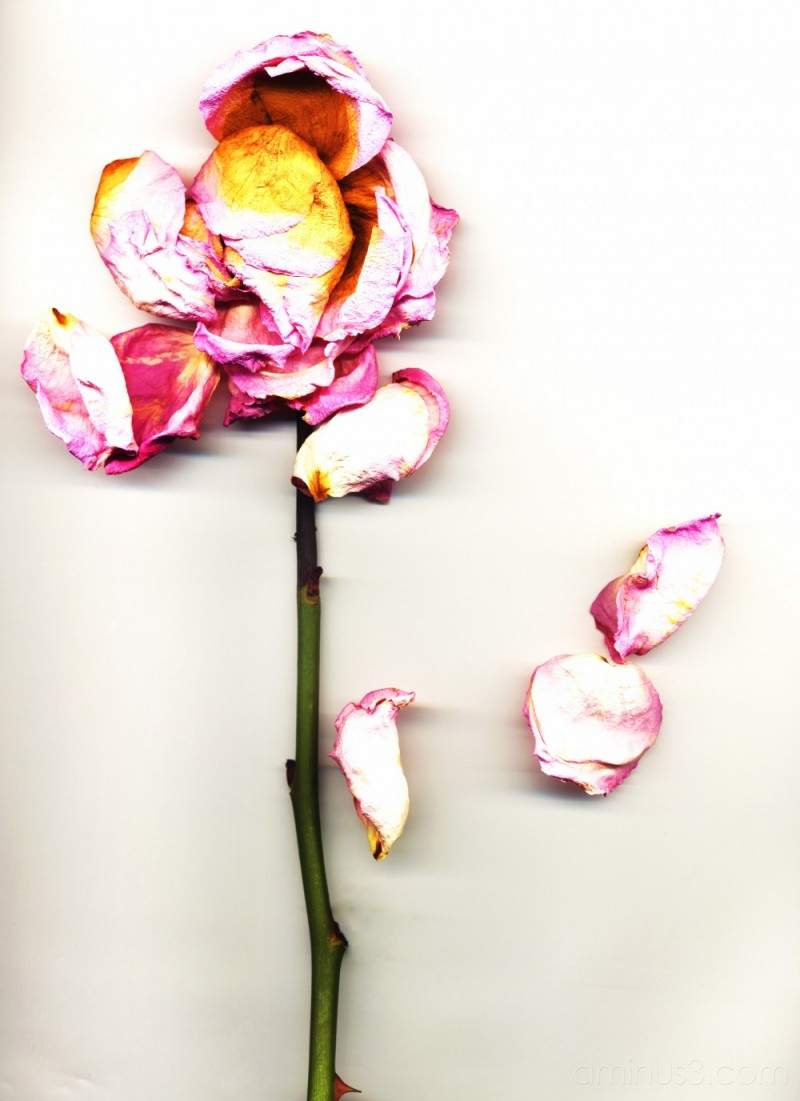 scan of a dead pink rose