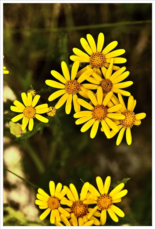 yellow flower weed