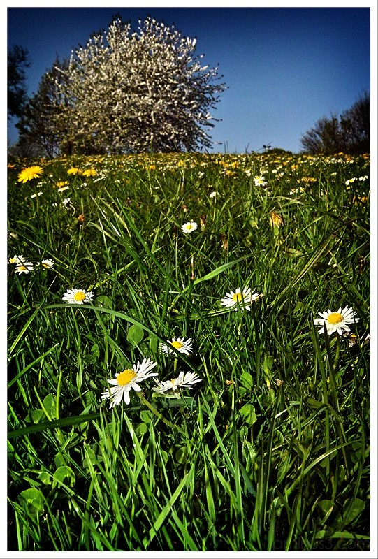 dandilions and daisies