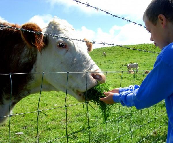 little boy feeding a cow