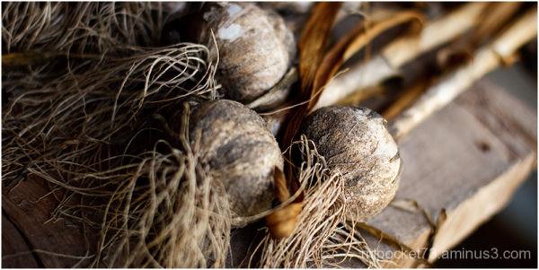 Garlic Drying - 2