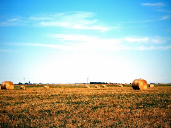 a golden field of haybails near Sedley, SK