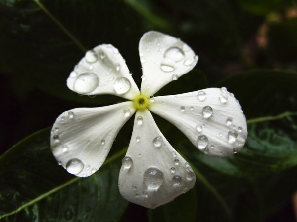 A nice flower after a rainy day.