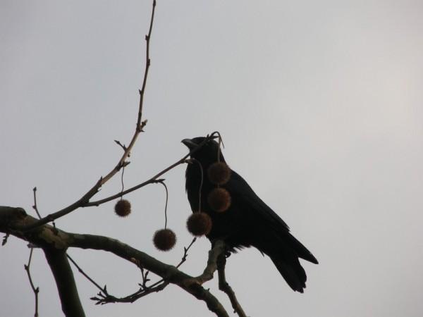 Maitre corbeaux sur sa branche perché....