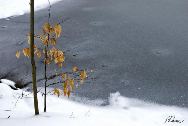 Beech sapling in winter, Green Lane Park