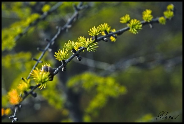 a wetland evergreen in Ferd's Bog, Adirondacks