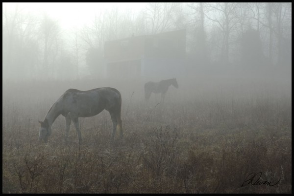 Horses in foggy pasture, New Hanover, PA