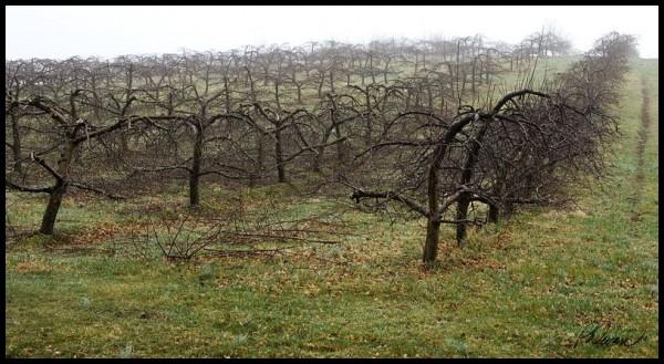 fog, orchard, patterns