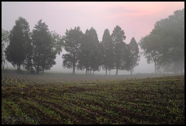 Sunrise over a foggy field of corn seedlings