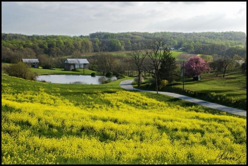Field of black Mustard