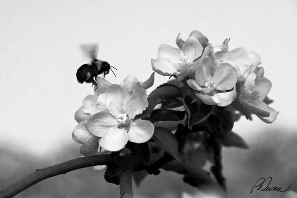 Bee landing on apple blossom