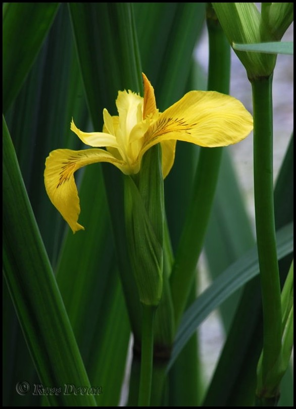 Yellow flag blooming in Uwchlan Twp. park