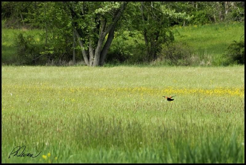 Red-Winged Blackbird Landing In Meadow