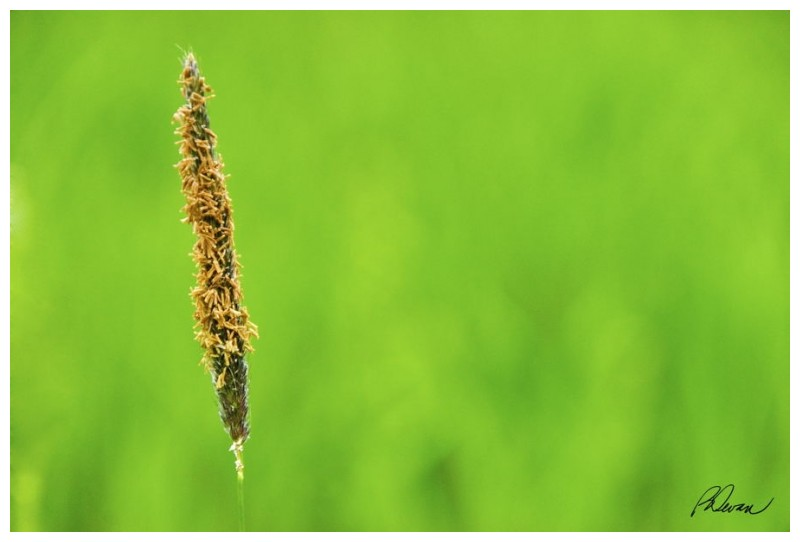 Single stalk of wild grass