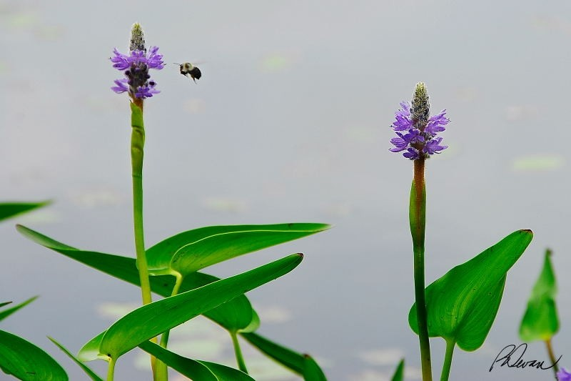 Pickeralweed (Pontederia cordata) and Bumblebee