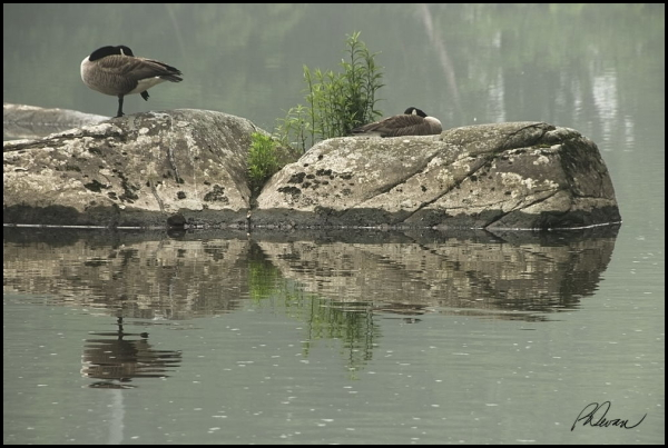 Sleeping geese on a rock in Perkiomen Creek