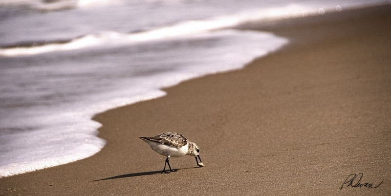 sanderling feeding in the surf at Delaware Shores