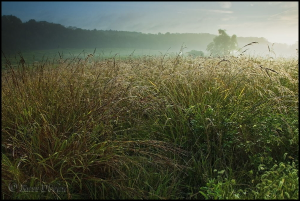 dew-drenched field grasses in light fog