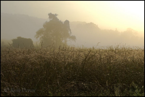 dew drenched field of wild grasses with fog