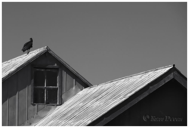 Vulture on Barn Roof