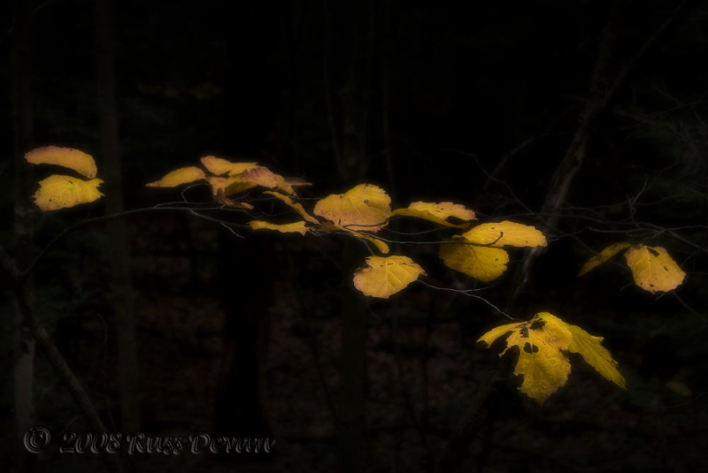 Yellow beech leaves in autumn