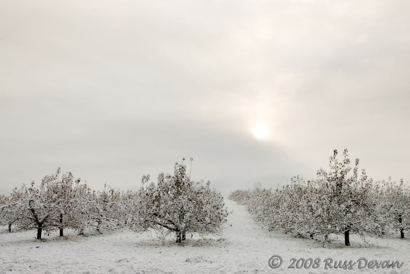 apple orchard blanketed in new-fallen snow