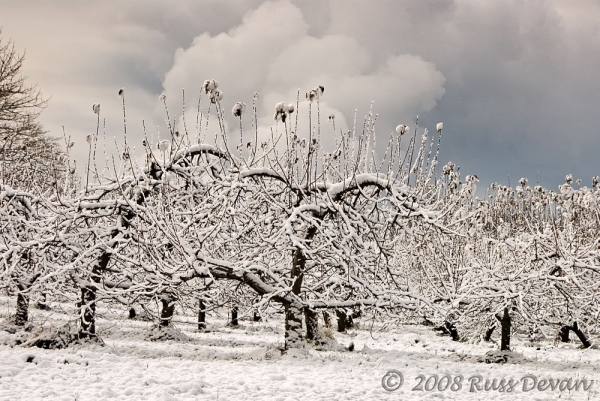 snow, white, apple, orchard, ringing hill, winter