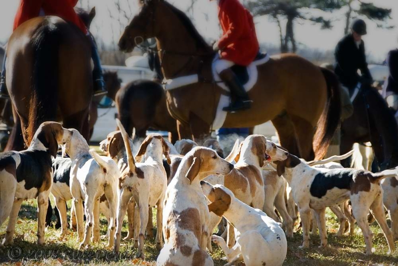 foxhounds waiting to hunt