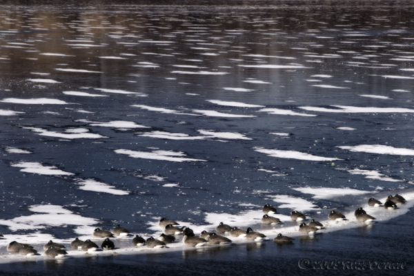 canada geese resting on frozen, snow-covered lake