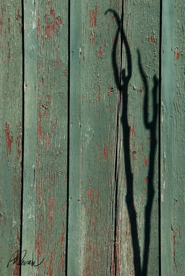 Plant Shadow on Barnwood