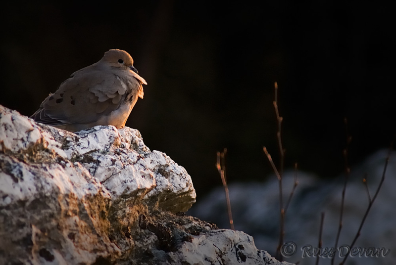 Mourning Dove at Hawk Mountain