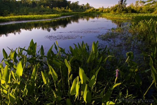 Pickeralweed (Pontederia cordata) on Porter Lake