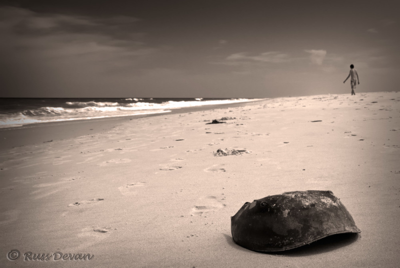 Horseshoe Crab Shell, Delaware Shores
